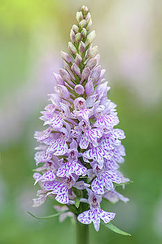 Common Orchid by Jacky Parker
