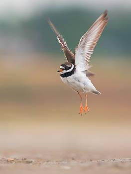 Common ringed plover in flight by Sergey Ryzhkov