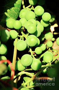 Concord Grapes 6 by Janie Johnson