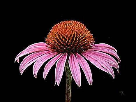 Cone Flower - Rudbeckia by Sue  Brehant