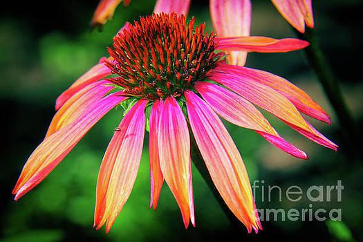 Cone Flower Beauty by Kasia Bitner