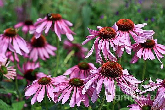 Cone Flower Dancing by Tracy Hall