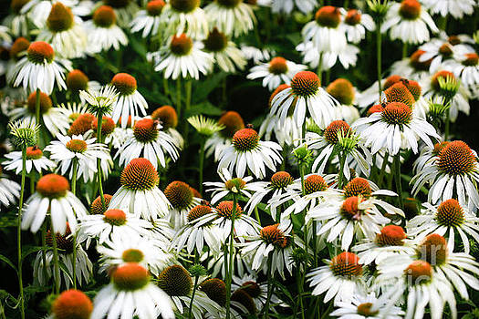 Cone Flowers by Tracy  Hall