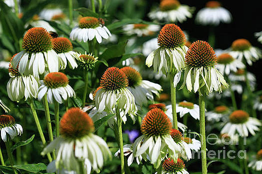 Coneflower Haven by Tracy Hall