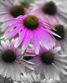Marty Koch - Coneflowers
