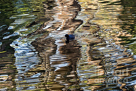 Kate Brown - Coot Reflections