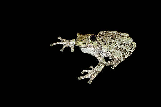 Cope's Gray Tree Frog #2 by Judy Whitton