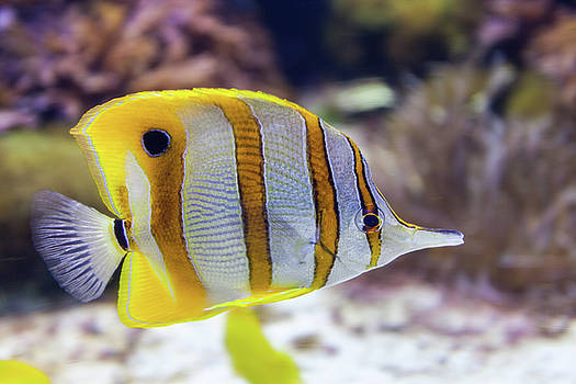 Copperband Butterflyfish by Terry Thomas