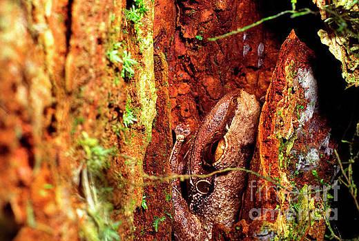 Coqui in Tree Bark by Thomas R Fletcher