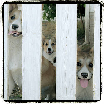 Corgis Three by Mick Anderson