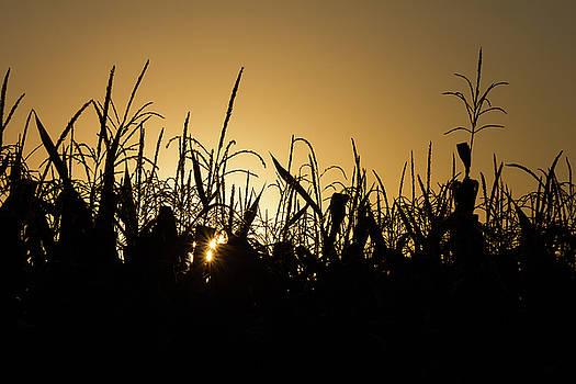 Corn Field Sunrise by Penny Meyers