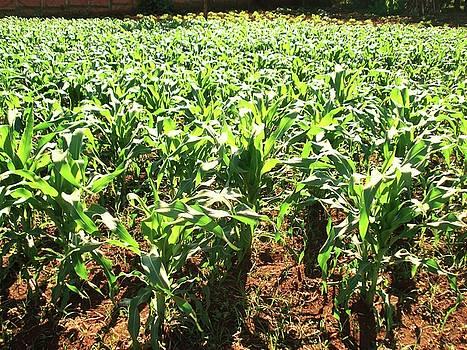 Corn Island by Beto Machado