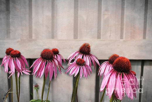 Coneflower Couples by Nina Silver