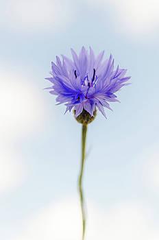 Cornflower by Jeremy Sage
