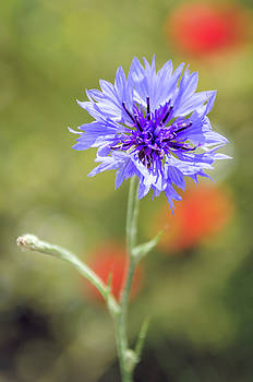 Cornflower with poppy dots by Jeremy Sage