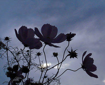 Cosmos at twilight by J R Baldini