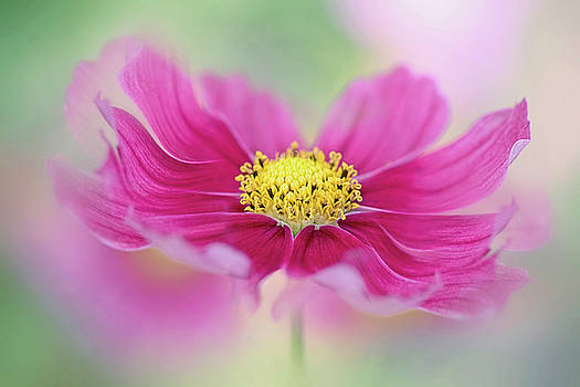 Cosmos Curls by Jacky Parker