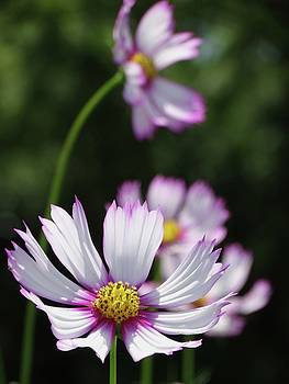 Cosmos in Bloom by Rebecca Overton