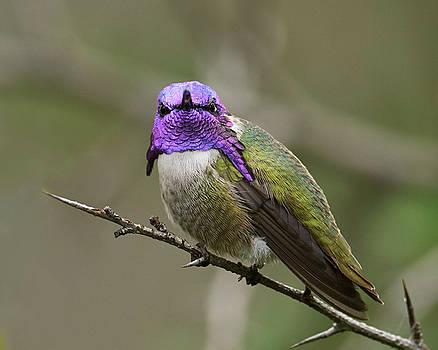 Costa's Hummingbird, Solano County California by Doug Herr