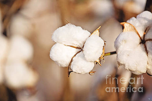 Scott Pellegrin - Cotton Plant