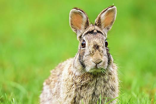Cottontail Rabbit by Nebojsa Novakovic