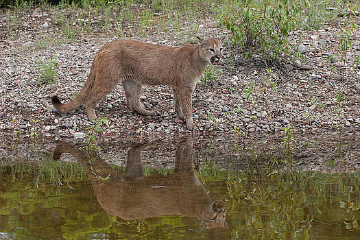 Cougar by lake with reflection by Jack Nevitt