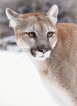 Cougar Eyes by Athena Mckinzie
