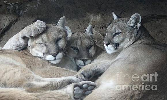 Cougar Trio by Deniece Platt