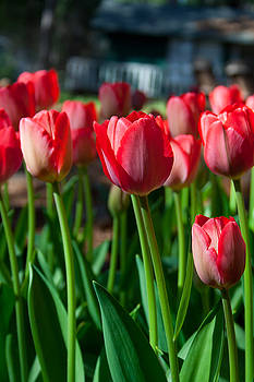 Country Red Tulips by Marcie  Adams