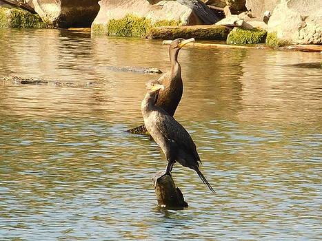 Couple of Cormorants Lake Erie OH  by Nancy Spirakus