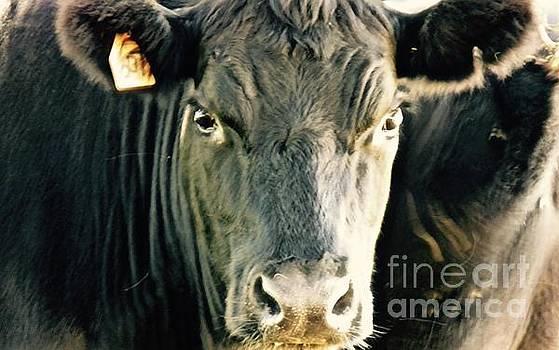 Cow Eyes by E Robert Dee