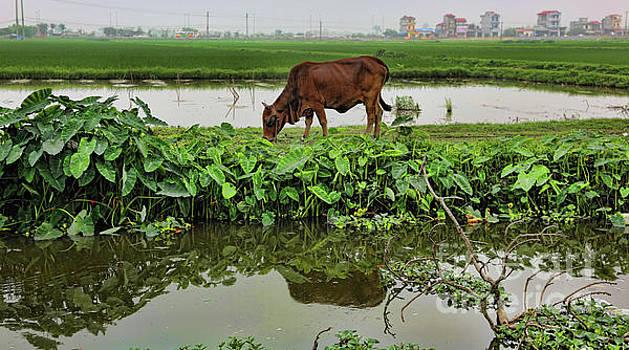 Chuck Kuhn - Cow munching Green