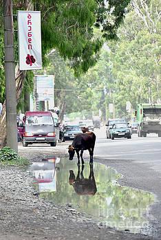 Svetlana Sewell - Cow on a Road