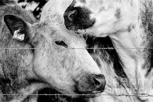 Nick Biemans - Cows behind barbed wire