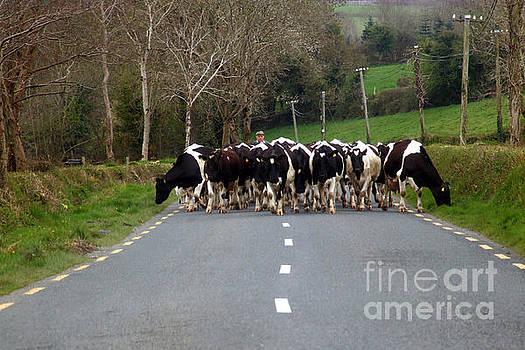 Joe Cashin - Cow