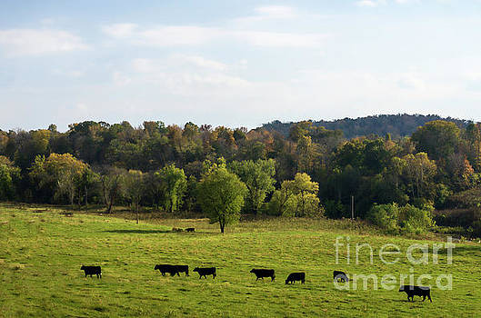 Cows lined up in field heading toward pond Kingston Springs TN farm by Photo Captures by Jeffery
