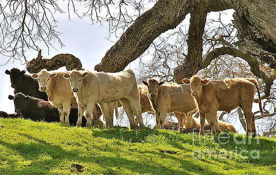 Cows Under Oak #2 by Amy Fearn
