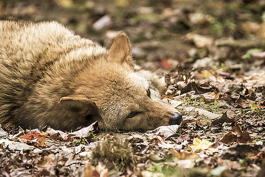 Coyote at Rest by Tracy Winter