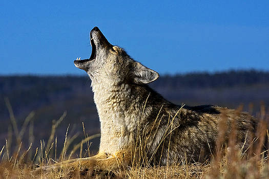 Coyote Howling by Bill Keeting