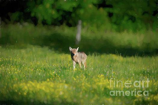 Dan Friend - Coyote in field walking forward