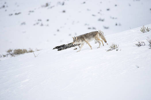 Coyote in Yellowstone by Brad Scott