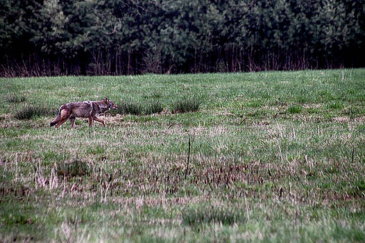 Coyote on the Prowl by Bruce Patrick Smith