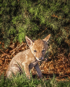 Coyote Pup by David Wagner