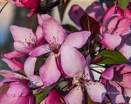 Crab-Apple Blossom in Evening Light by Mick Anderson
