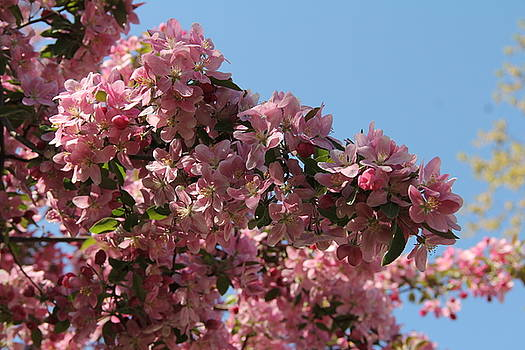 Crab Apple in Bloom by Charlene Reinauer