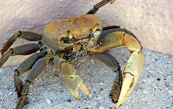Crabby by Shawna Nickel