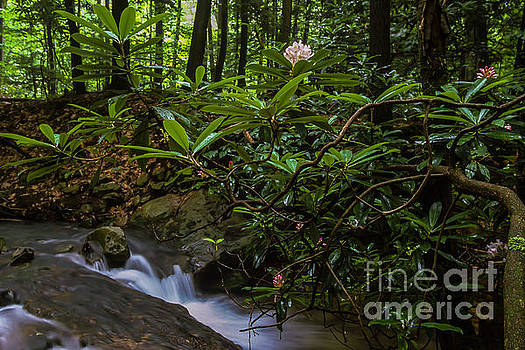 Cranberry Wilderness Rhododendron Blossom by Thomas R Fletcher
