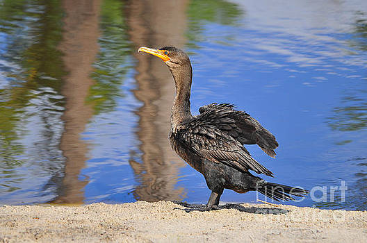 Creekside Cormorant by Al Powell Photography USA