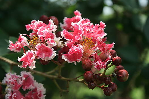 Crepe Myrtle by Ruthann Carlson