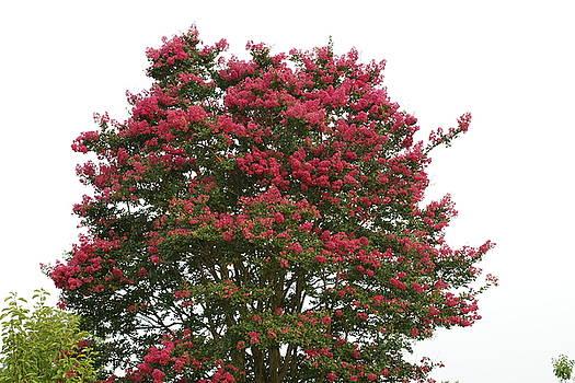 Crepe Myrtles Tree by Danny Jones